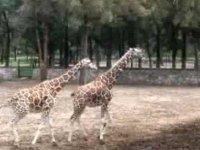 Safari zooleon