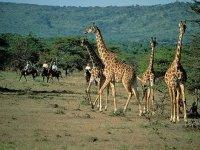 Zoofari giraffes
