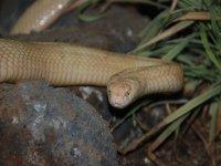 Cobra albino