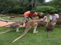 Alimentando canguros