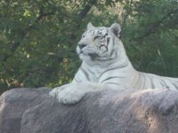 Magestuous white tiger