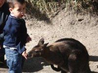 Boy with kangaroo