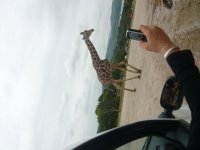 A giraffe in front of the car