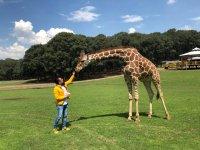 Dando de comer a la jirafa