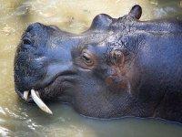 Hipopótamo descansando