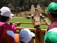 Meeting giraffes