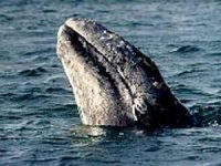 Gray whales in Bahia Magdalena