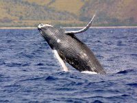 Ballenas grises en directo