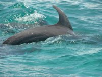 free dolphins in Ascension Bay