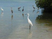 herons in Sian Kaan