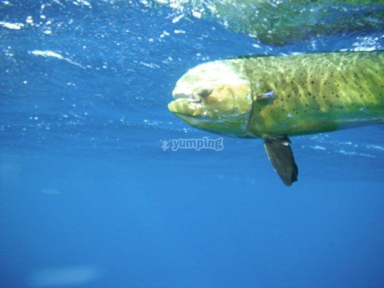 Sea bream underwater