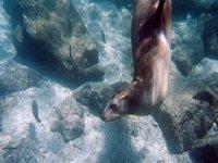 Leon marino bajo el agua