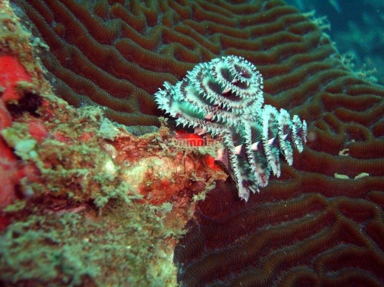 Buceo en Veracruz, hermosos gusanos tubulares