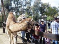 Convivio con camello