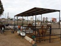 Nuestro corral de camellos