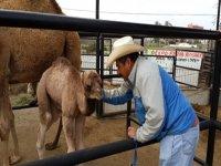 Cuidando de la cría de camello