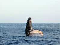Whale in Brinco Bay