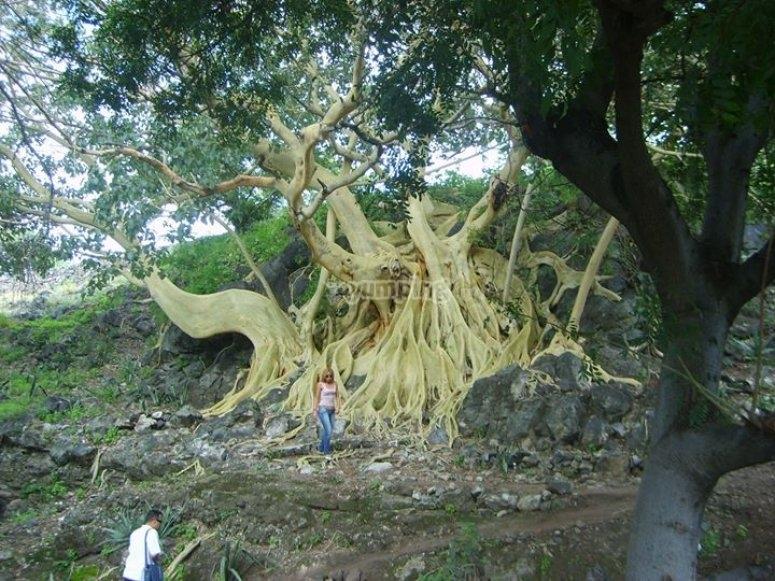 Mezcala tree