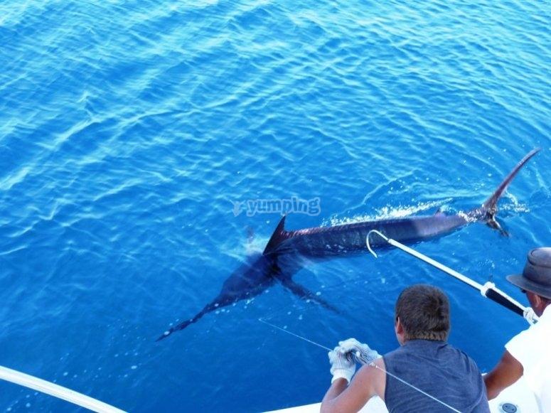 Marlin azul.jpg
