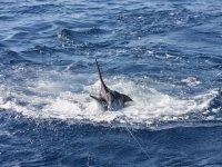 Pescando el pez vela