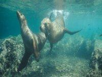 Buceo con leones marinos