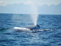 Ballenas azules