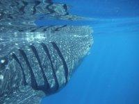 Tiburón ballena en Riviera Maya Cancún