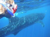 Snorkel y nado con tiburón ballena en Cancún
