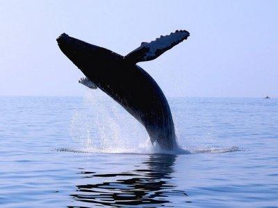 Paseo de avistamiento de ballenas en catamarán