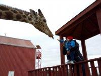 Safari with giraffes Monterrey