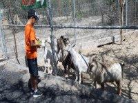 Feeding goats in the safari