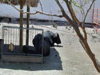 Bull resting during the safari