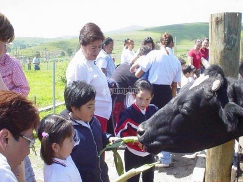 alimentando a las vacas