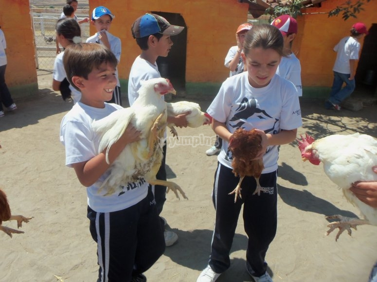 Visitando a los gallos