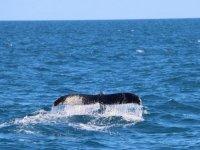 Cola de ballena