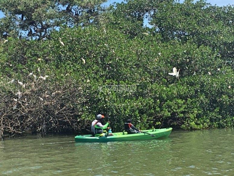 Remando junto al manglar