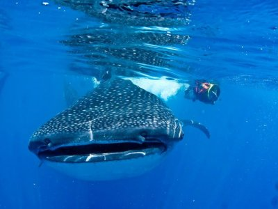 Snorkel tour with whale shark and in reef