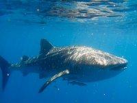 Oferta Tour de snorkel con Tibur�n Ballena desde Canc�n
