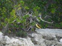 Aves en manglares