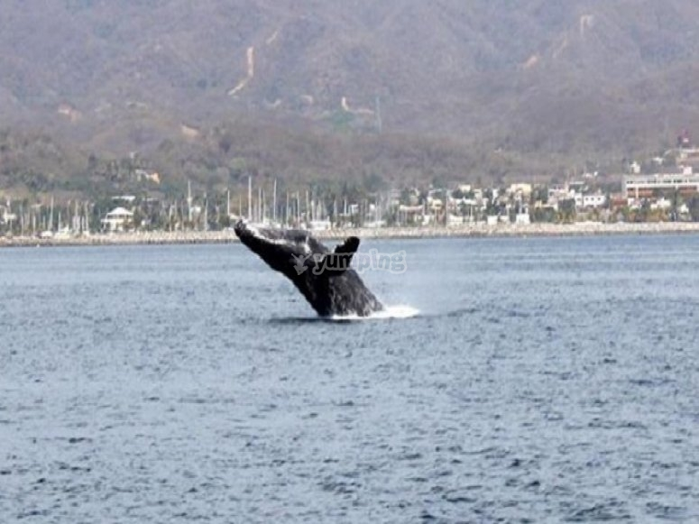 whale watching en vallarta