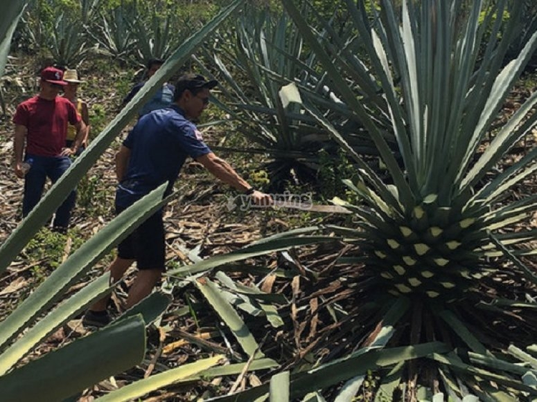 How do they make mezcal?
