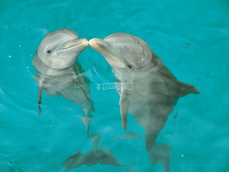Kiss between dolphins