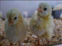 Meet the duck of chicks