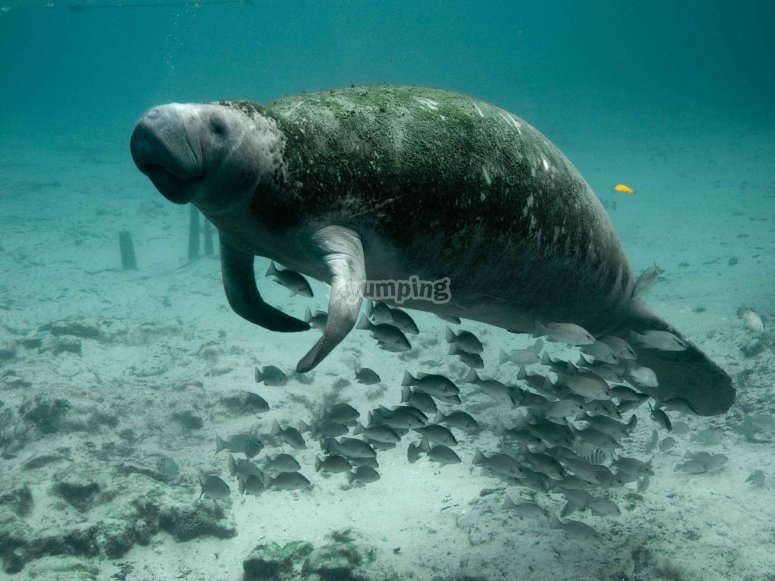 Beautiful manatee