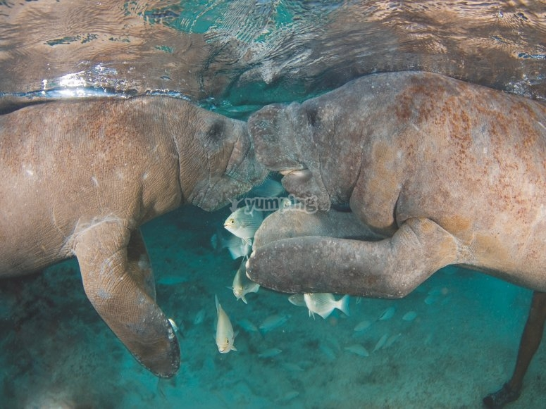 Love between manatees