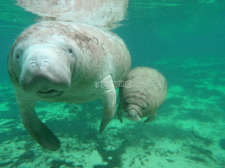 Interaction with manatees