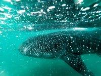 Swim whale shark