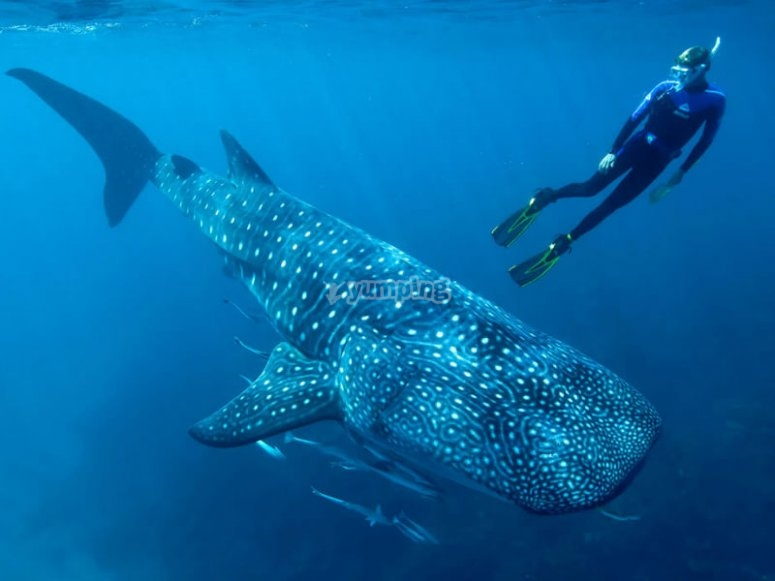 Unforgettable experience of swimming with whale sharks