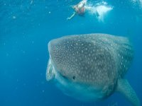 Snorkel with whale sharks