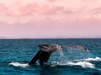 Whale swimming at sunset
